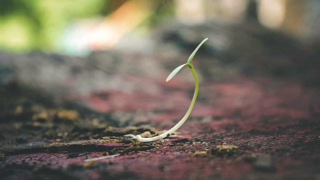 semenáč, mladá rostlina